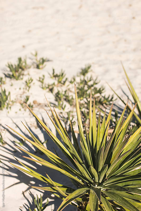a small palm tree in the sand by Igor Madjinca for Stocksy United