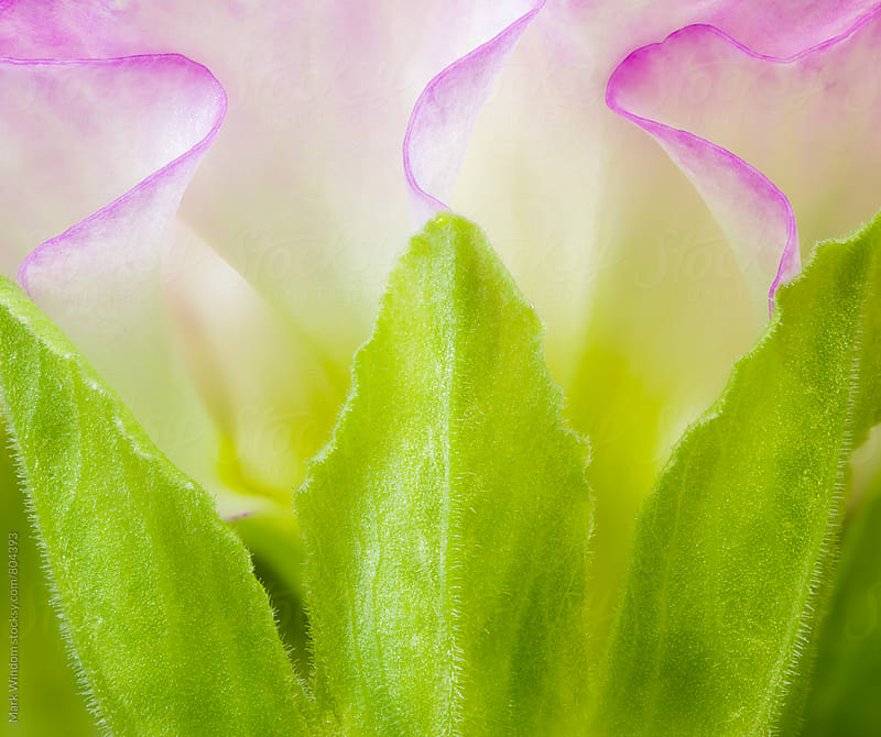 Primrose, closeup by Mark Windom for Stocksy United