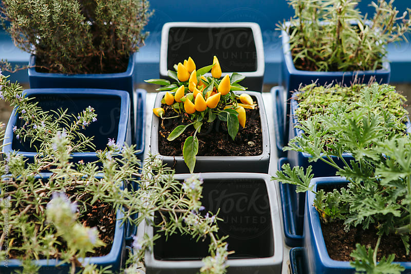 Growing yellow chili peppers by Aleksandar Novoselski for Stocksy United