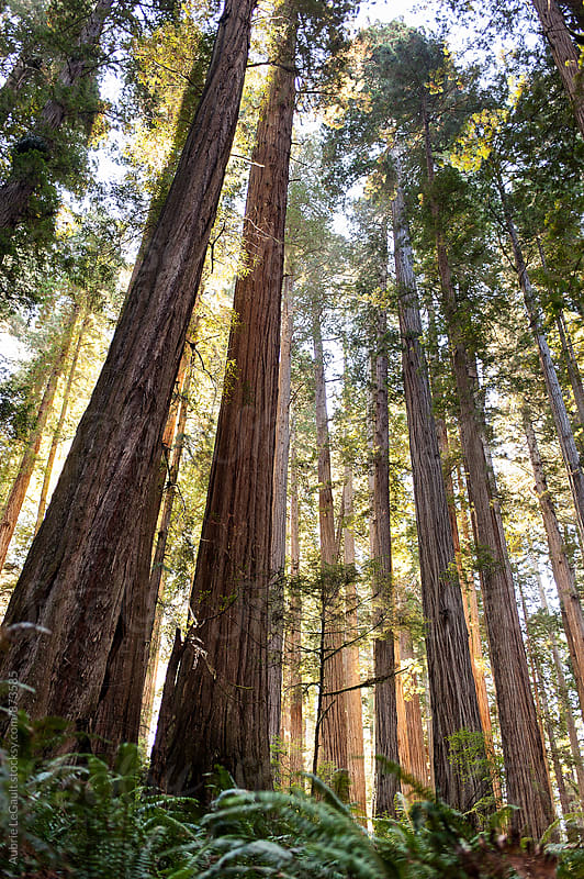 Redwoods by Aubrie LeGault for Stocksy United