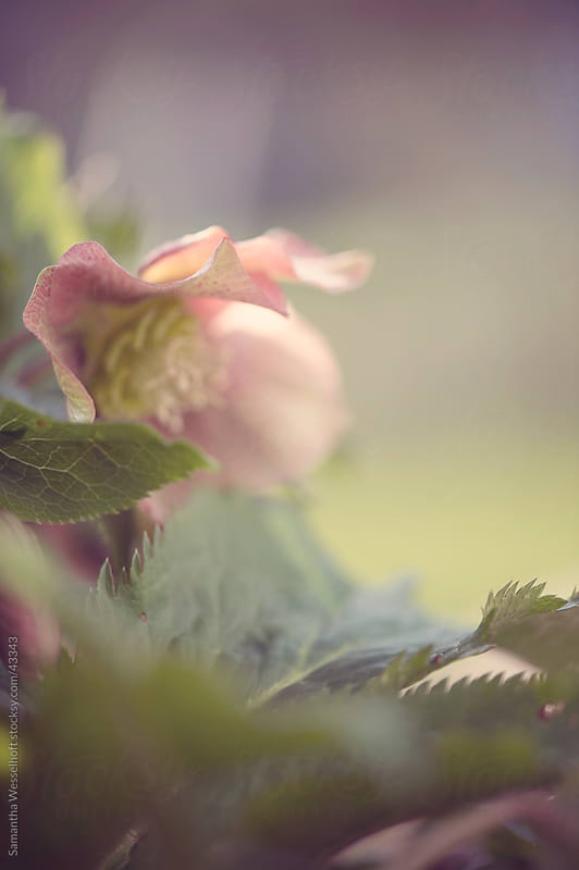 helleborus by Samantha Wesselhoft for Stocksy United
