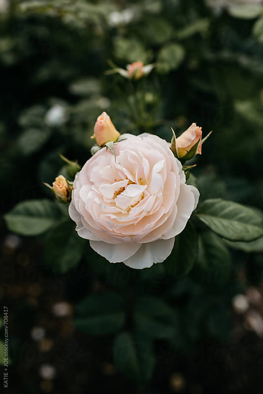 single pale pink rose with three rose buds surrounding it by KATIE + JOE for Stocksy United