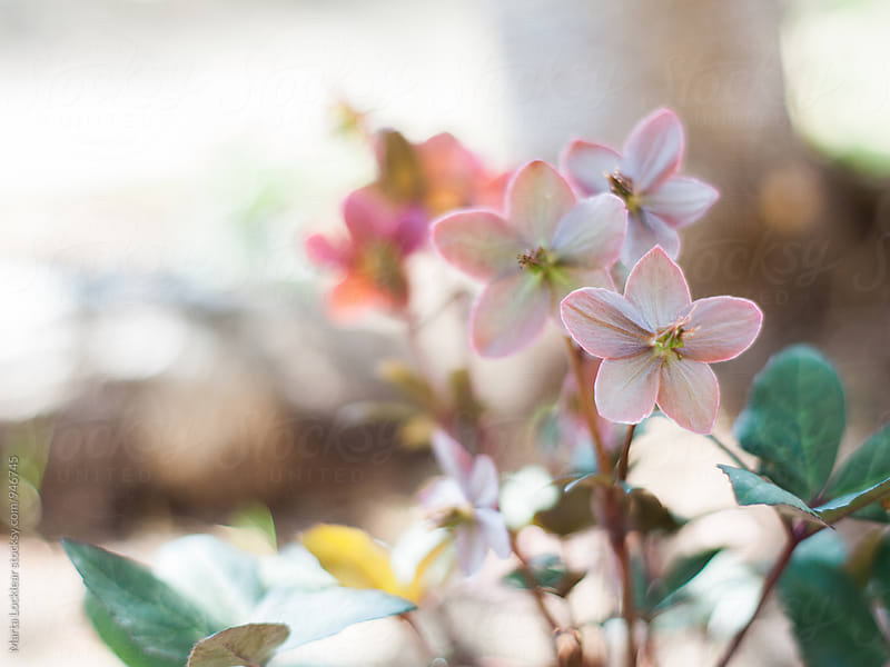 Hellebores perennial plant in the garden by Marta Locklear for Stocksy United