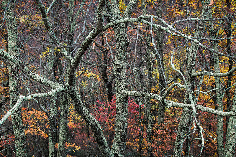Lichen covered tree branches and fall foliage by Matthew Spaulding for Stocksy United