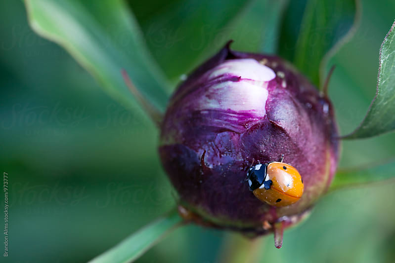 Ladybug Crawling on a Flower Bulb by Brandon Alms for Stocksy United