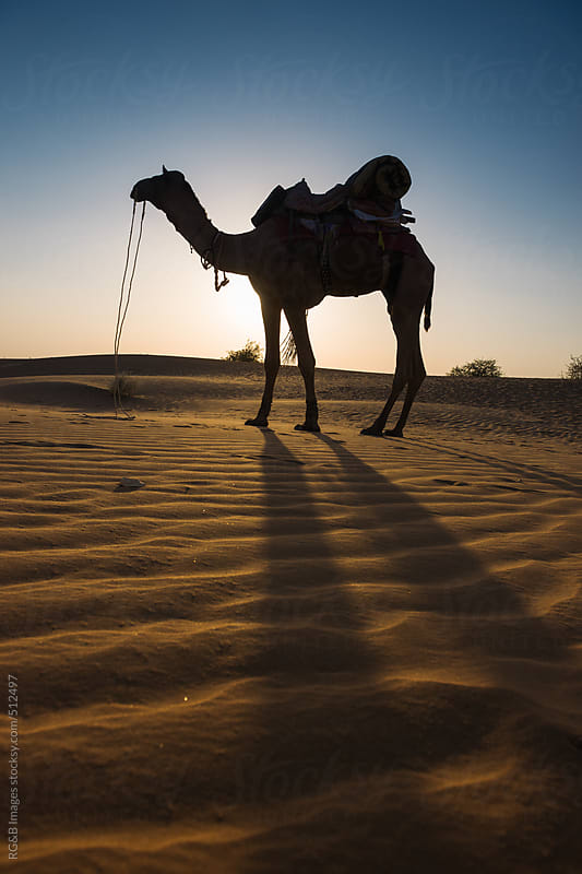 camel in the desert at sunset  by RG&B Images for Stocksy United