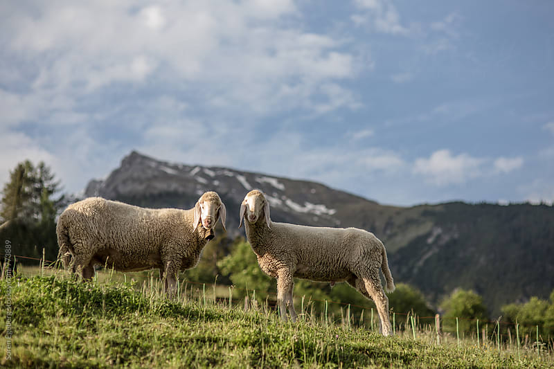 Grassing sheep in a mountain meadow in Austria by Søren Egeberg Photography for Stocksy United