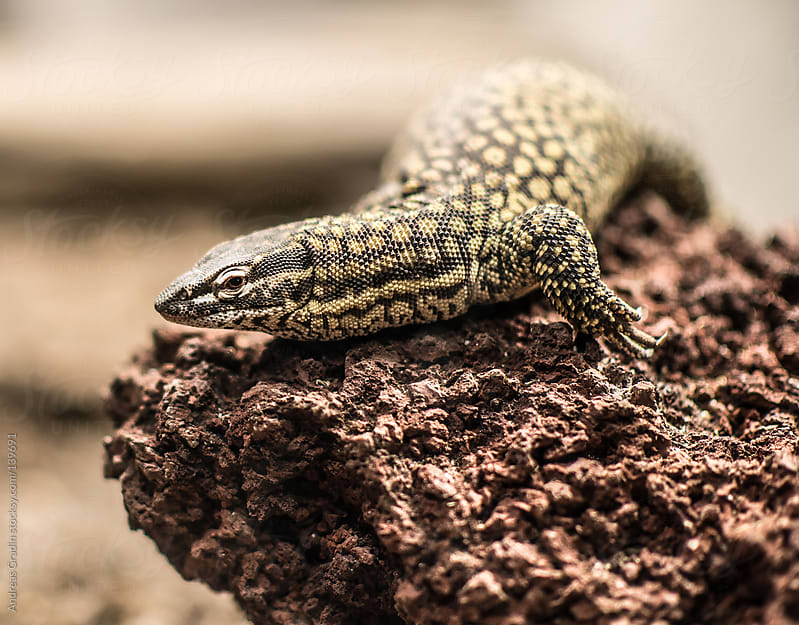 spiny tail monitor lizard  by Andreas Gradin for Stocksy United