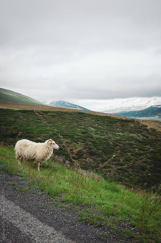 Sheep standing by a road with mountains in the distance by Gabriel Tichy for Stocksy United