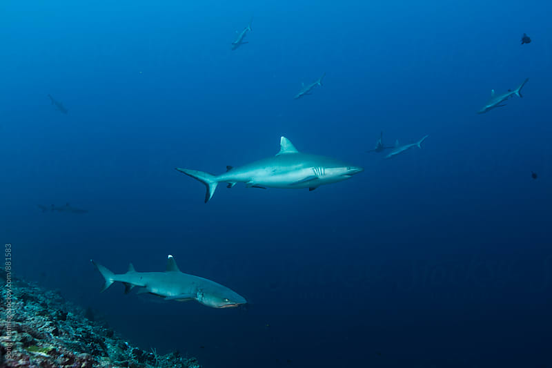 Grey reef shark and whitetip reef shark by Song Heming for Stocksy United