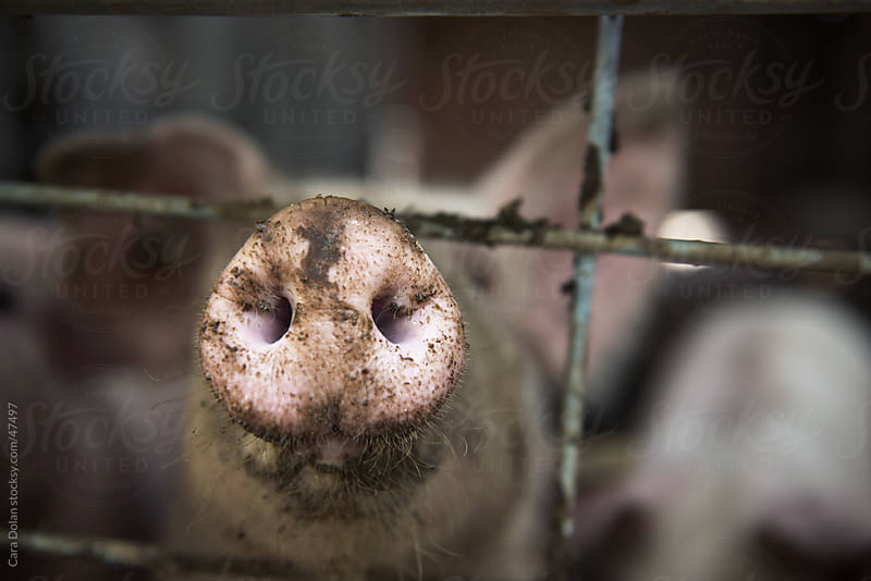 Muddy pig snout sticking out of pigpen on a farm by Cara Dolan for Stocksy United