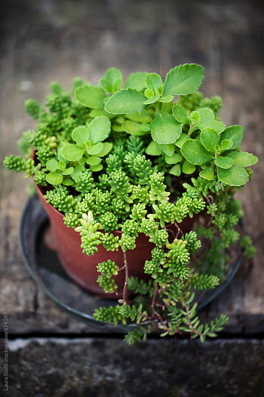 Overhead shot of blossoming green sedum in pot in garden by Laura Stolfi for Stocksy United