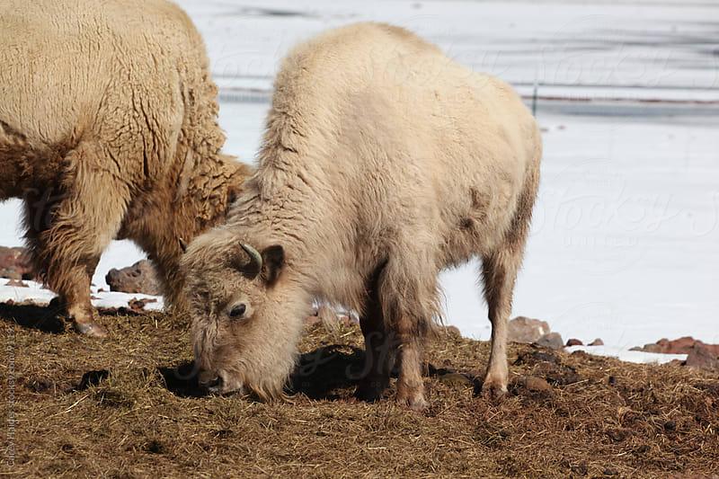 White Buffalo by Carey Haider for Stocksy United