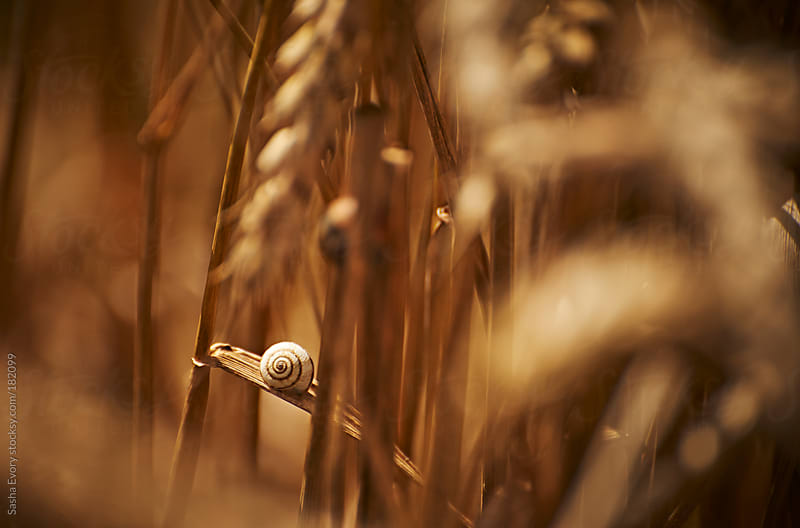 Snail inside wheat field by Sasha Evory for Stocksy United