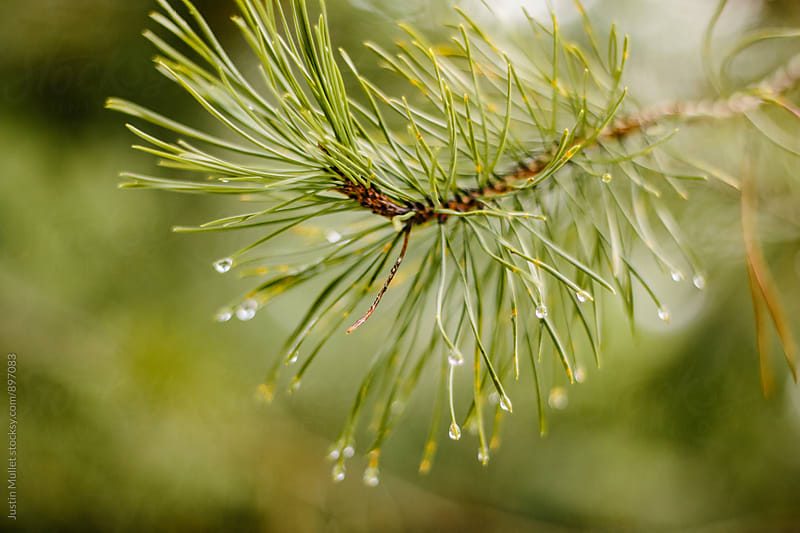 Close up of pine needles with water drops.  by Justin Mullet for Stocksy United