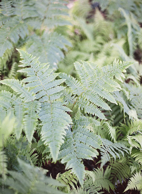 Ferns in the forest  by Vicki Grafton Photography for Stocksy United