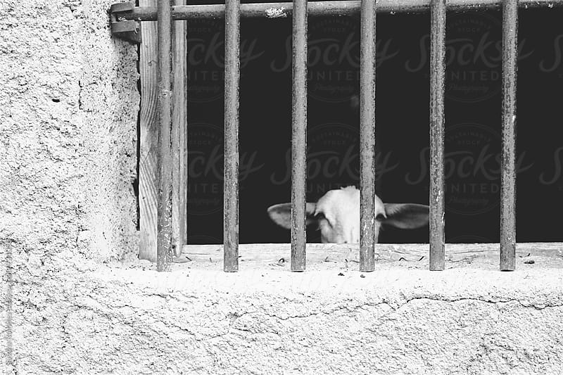 Goat behind bars by Susana Ramírez for Stocksy United