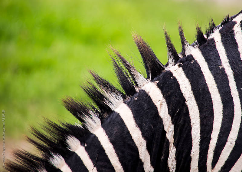 Close up of a Zebra in Africa by Jaydene Chapman for Stocksy United