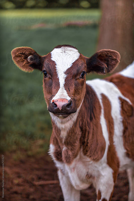 Dairy Calf looking into camera by Rowena Naylor for Stocksy United