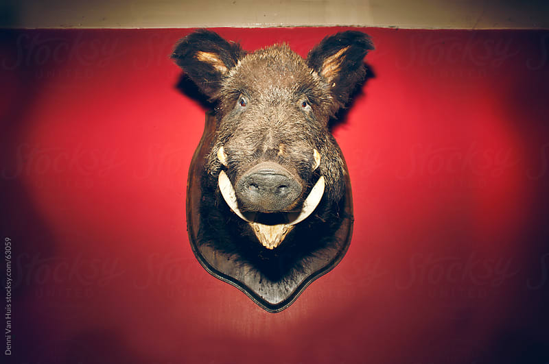 Stuffed wild boar hanging up on a red wall by Denni Van Huis for Stocksy United