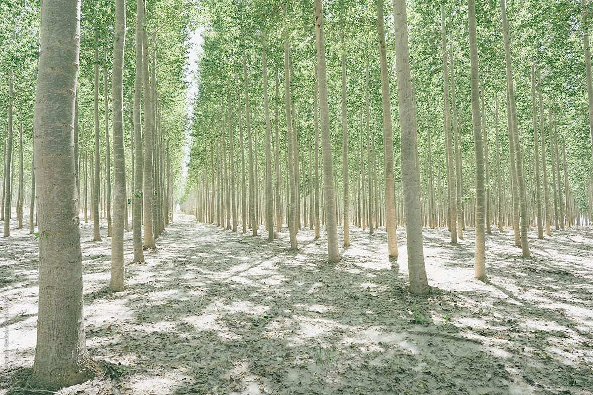 Rows Of Commercially Grown Poplar Trees By Rialto Images Poplar Tree Farm Stocksy United
