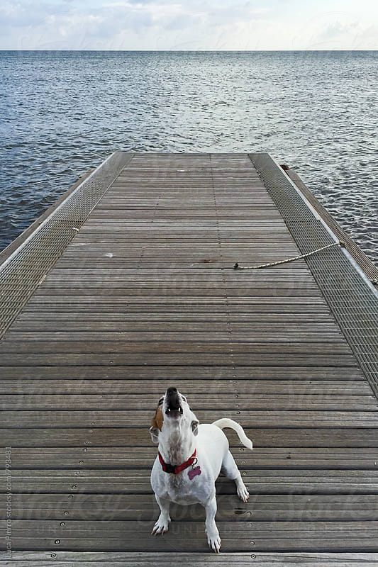 Small Jack Russell Terrier dog barking on a pier by Luca Pierro for Stocksy United