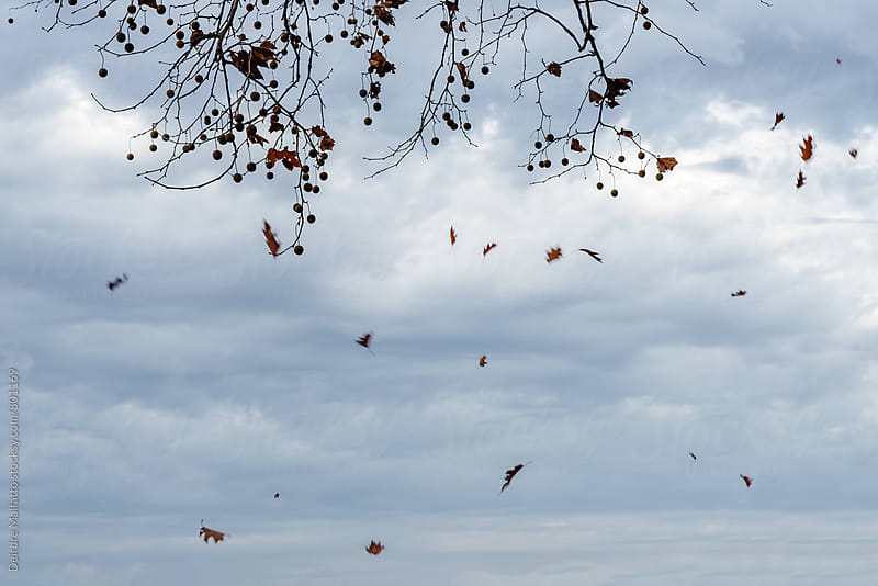 leaves fall from a tree in autumn by Deirdre Malfatto for Stocksy United
