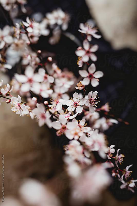 Spring flower by Tatjana Ristanic for Stocksy United