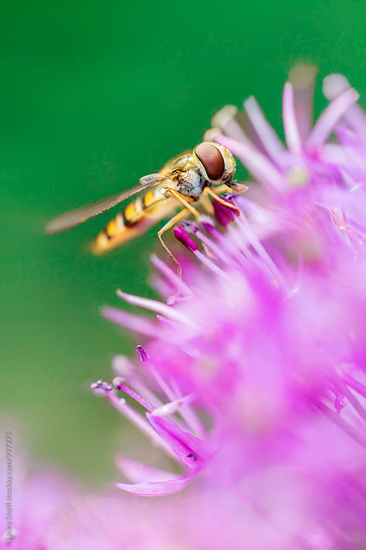 Extreme close-up of hoverfly pollinating purple flowers by Laura Stolfi for Stocksy United