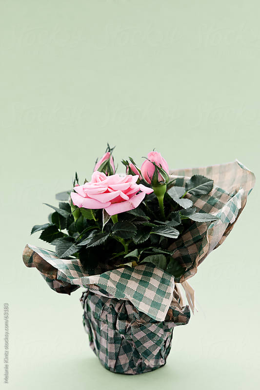 pot with pink rose before a light green background by Melanie Kintz for Stocksy United
