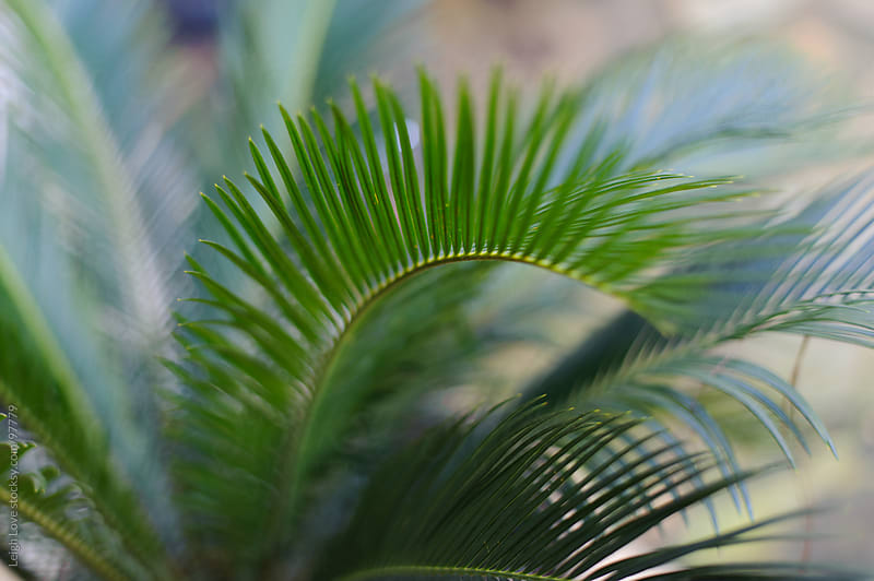 Sago Palm by Leigh Love for Stocksy United