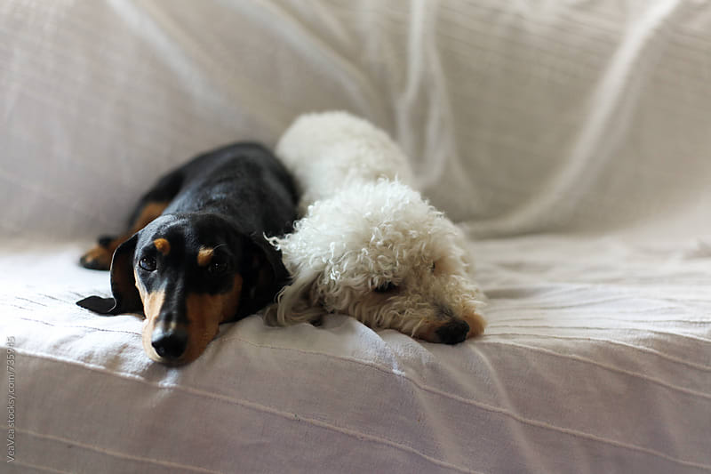 Dachshund and poodle lying on the couch by Marija Mandic for Stocksy United