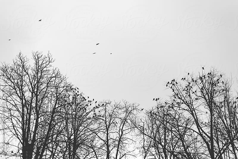 Ravens standing on tree tops by Boris Jovanovic for Stocksy United