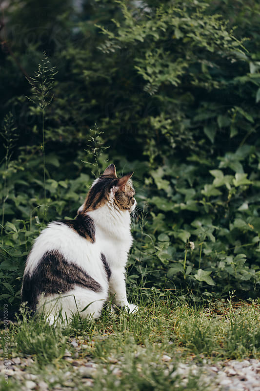 Siberian cat sits close to bush hunting for something by Laura Stolfi for Stocksy United