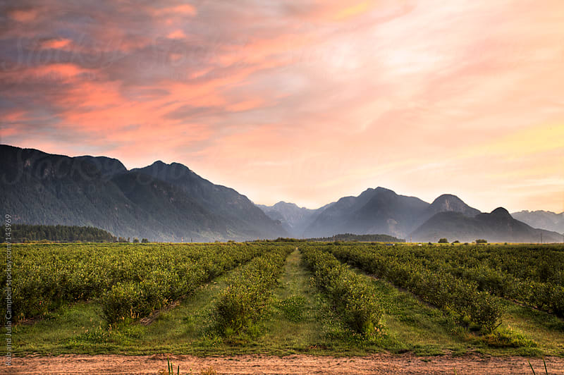 Landscape image of blueberry field at sunrise by Rob and Julia Campbell for Stocksy United