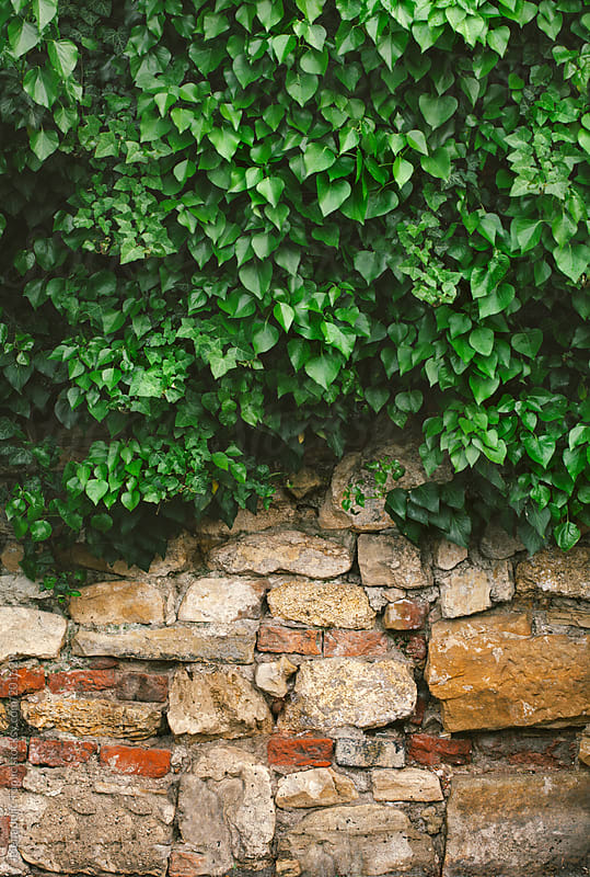 Wall covered by ivy leafs by Jelena Jojic Tomic for Stocksy United