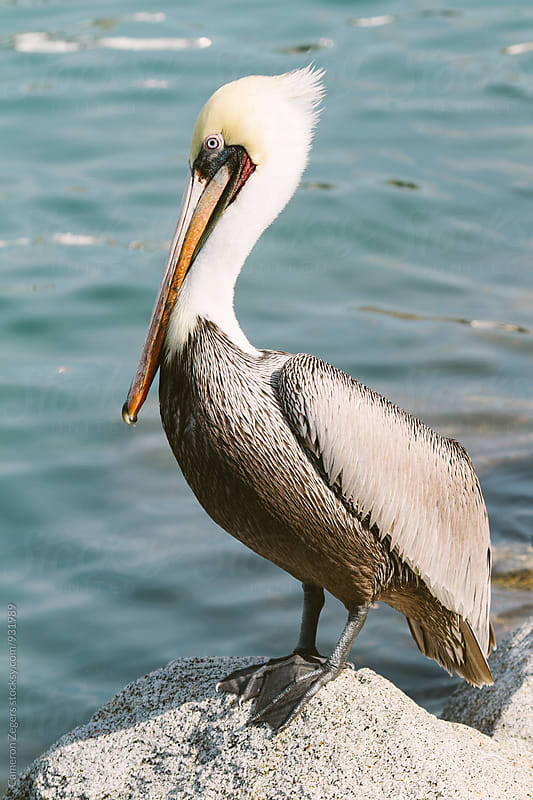 brown pelican by Cameron Zegers for Stocksy United