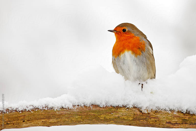 Red robin on a branch in the snow by Marcel for Stocksy United