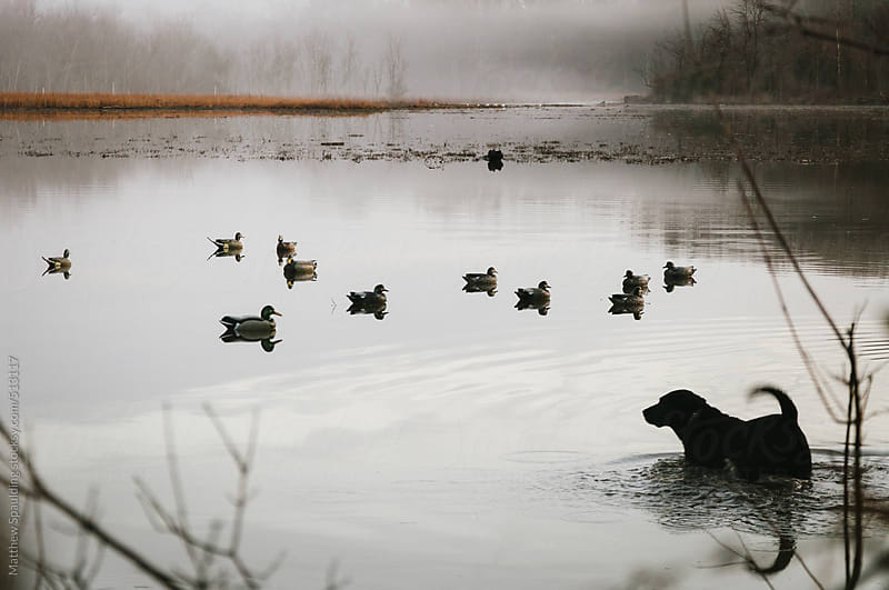 Black labrador retriever dog wading in water to retrieve duck during hunt by Matthew Spaulding for Stocksy United