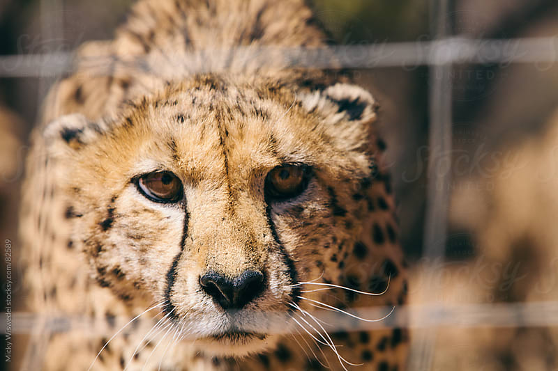 Captive cheetah through a fence by Micky Wiswedel for Stocksy United