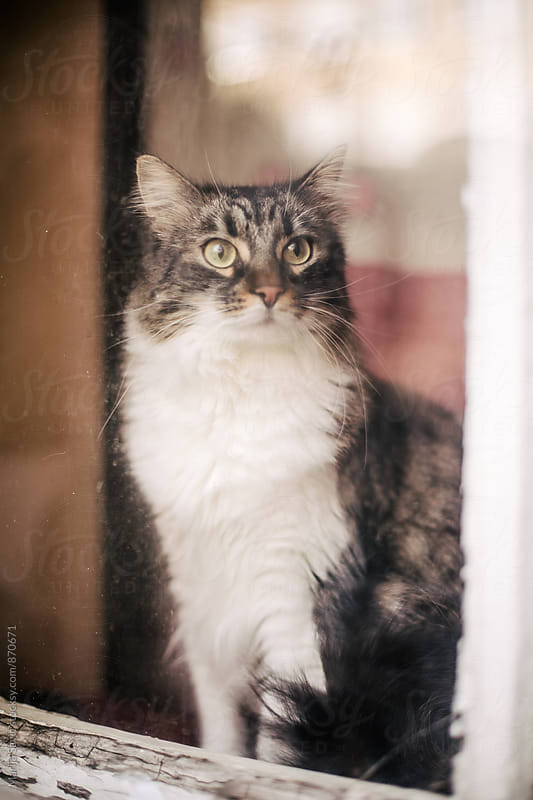 Cat Looking through the Window by Marija Savic for Stocksy United