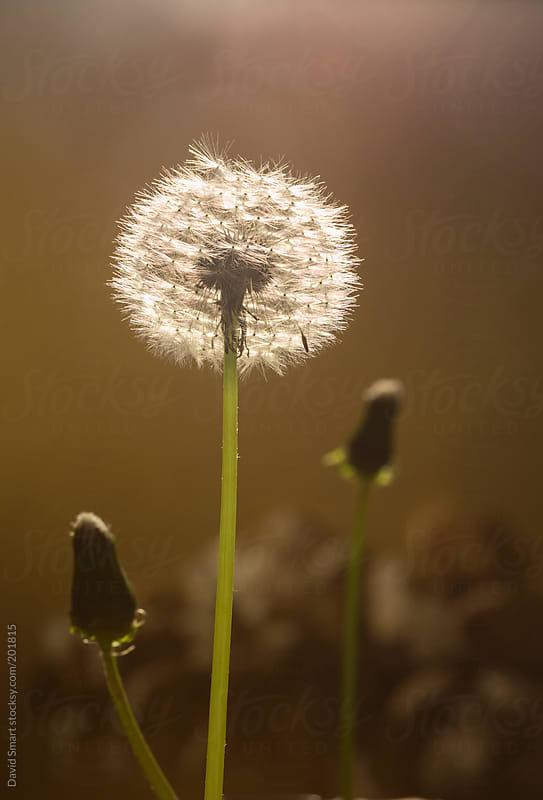 Backlit dandelion seed head by David Smart for Stocksy United