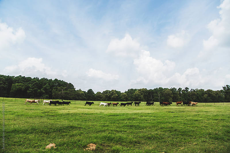 Texas Cows by Sean Horton for Stocksy United