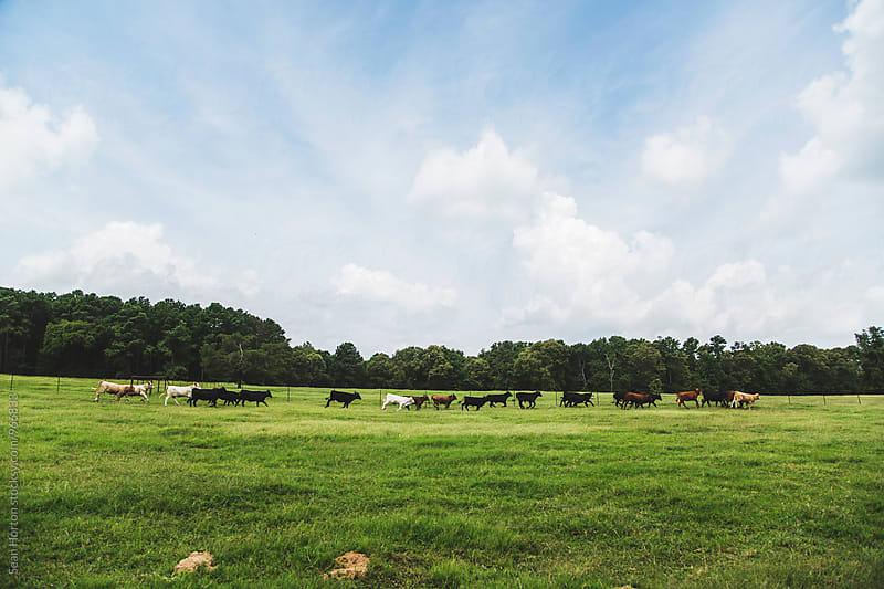 Texas Cows by Sean Horton for Stocksy United