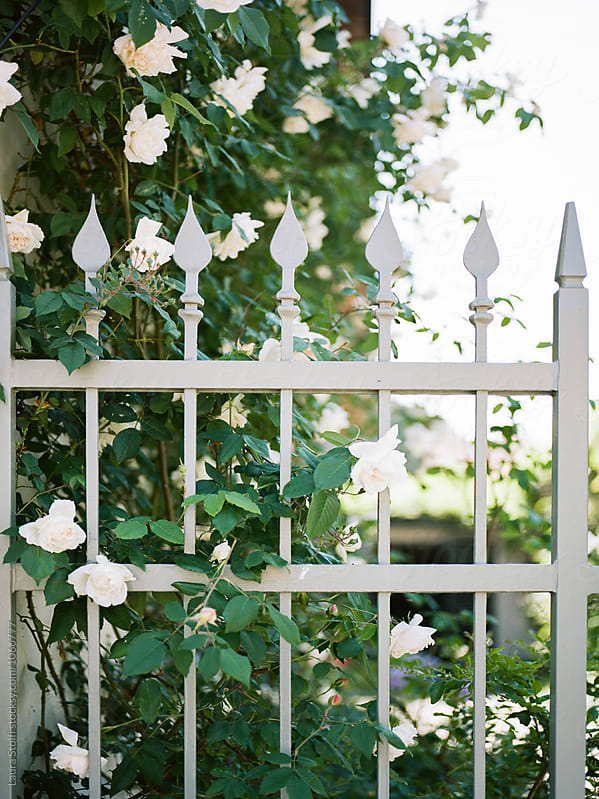 Lush shrub of white roses climbs on iron gate by Laura Stolfi for Stocksy United