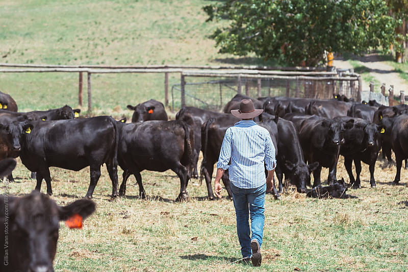 farmer with his herd of cows by Gillian Vann for Stocksy United
