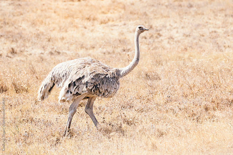 female ostrich walking in Ngorongoro Crater by Cameron Zegers for Stocksy United