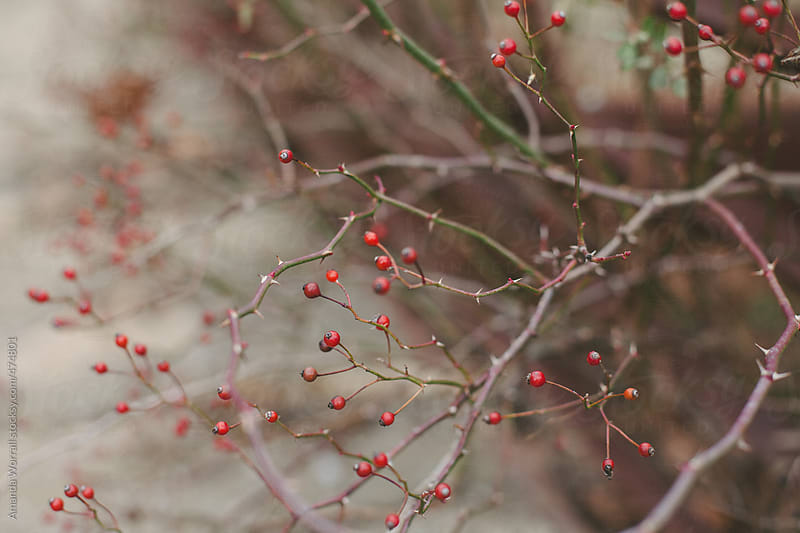 Rose hips in the winter by Amanda Worrall for Stocksy United