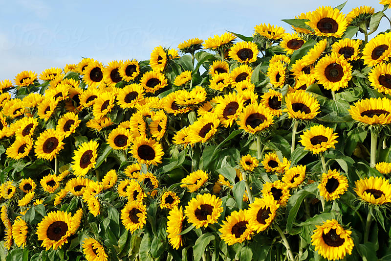 sunflowers by Rene de Haan for Stocksy United