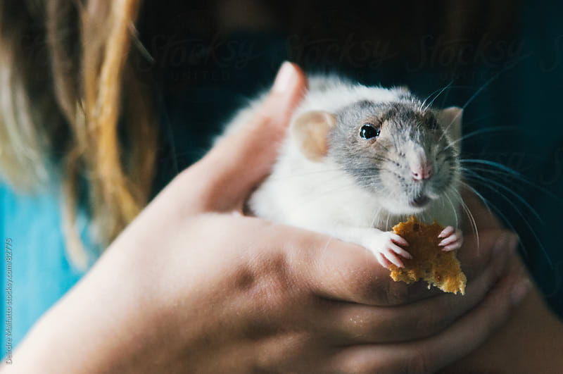 hands holding a pet rat who is eating bread by Deirdre Malfatto for Stocksy United